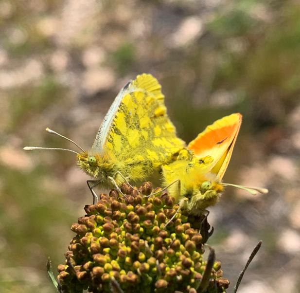 La Flora endemica dell'Etna